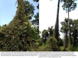 native florida air plants dioscorea bulbifera u2013 uf ifas center for aquatic and invasive plants