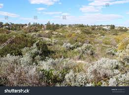 native plants of western australia dune rehabilitation city beach perth western stock photo 151223117