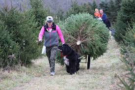 2017 newfoundland christmas tree pull list mybrownnewfies com
