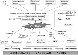 oxidative stress inflammation and vascular aging in hypertension