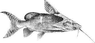 False upside down catfish
