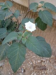White Trumpet Flower - datura innoxia wikipedia