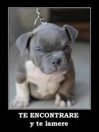 american pitbull terrier 9 meses pitbull red nose