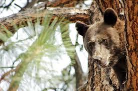 Hungry Bears Perishing On Western Montana Highways Local - hungry bears perishing on western montana highways local