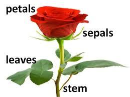 Lotus Flower Parts - comparing plant parts