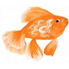94 best color gold fish images on goldfish