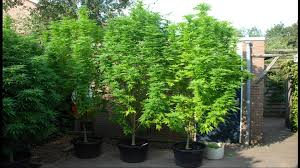 Plants That Dont Need Sunlight by Powdery Mildew Can Destroy Your Plants U0026 Make You Sick
