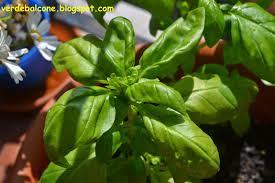 basilico in vaso malattie verde balcone basilico scheda di riconoscimento e coltivazione