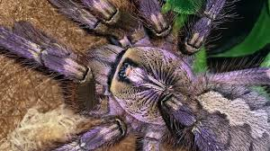 0 1 poecilotheria ornata fringed ornamental by p3kb on deviantart