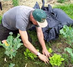 Mulching Vegetable Garden by The Sharing Gardens Grass Clippings And Leaves For Fertilizer Mulch
