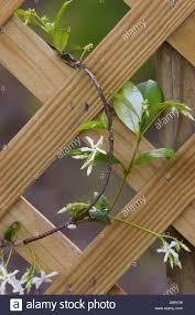flowering star jasmine vine climbing wooden lattis trellis stock