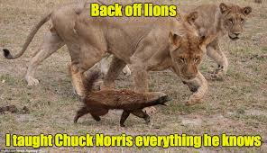 Honey Badger Memes - honey badger vs lions imgflip