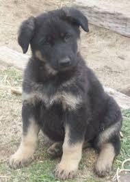 How To Care For Your by How To Care For Your New German Shepherd Puppy Von Ward