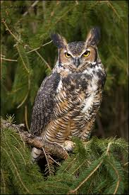 great horned owl by gregster09 just flew into my back yard