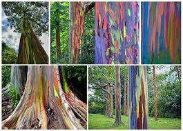 Rainbow Eucalyptus Rainbow Eucalyptus Tree Naples Florida City Houses Living