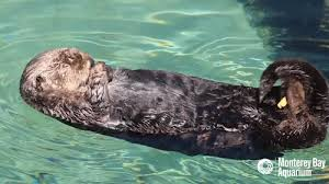 Sea Otter Meme - sea otter gifs get the best gif on giphy