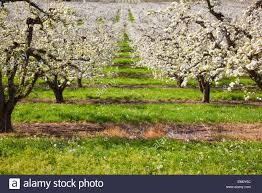 apple blossom trees in the river valley in columbia river