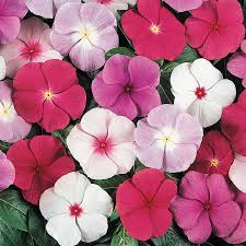 Vinca Flower Information - shop 6 pack cora vinca l03028 at lowes com