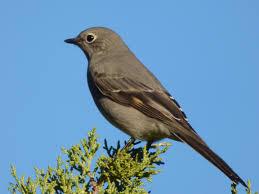 geotripper u0027s california birds townsend u0027s solitaire but not so