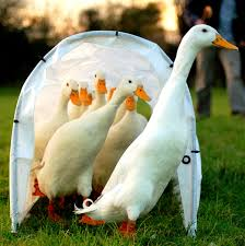 where can i buy duck domestic duck