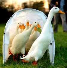 domestic duck wikipedia
