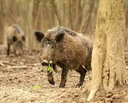 South Carolina wildlife images Hog wild columbia metro march 2015 25