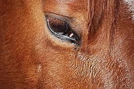 Sudden Blind Spot In Both Eyes Horse Vision