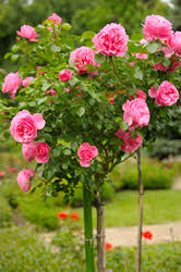 bayer garden a guide to selecting roses care ornamental