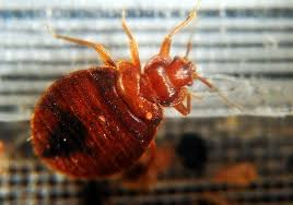 What Do Bed Bugs Eat Bed Bugs On A Plane British Airways Apologizes To Bitten Passengers