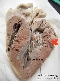 sheep heart dissection science pinterest sheep and med