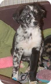 australian shepherd catahoula mix adopt christine on leopard dog
