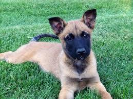 belgian sheepdog dog rescue belgian shepherd dog malinois michigan dog training