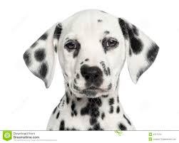 close dalmatian puppy facing camera