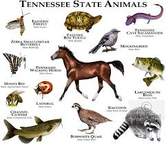 Tennessee wild animals images Images of animals from tennessee state animals of tennessee line jpg