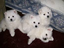 american eskimo dog breeders sans american eskimos puppies