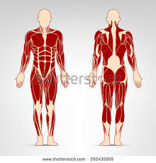 Anatomy Of Body Muscles Female Muscular Anatomy Vector Scheme Posterior Stock Vector
