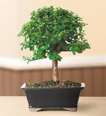 amazon com brussel u0027s dwarf jade bonsai medium indoor patio