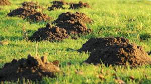 How To Get Rid Of Moles In The Backyard by Moles How To Identify And Get Rid Of Moles In The Garden Or Yard