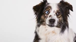 australian shepherd standard australian shepherd dog muzzle heterochromia wallpaper free