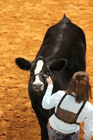 Show Steer Barns Best 25 Show Cattle Barn Ideas On Pinterest Cattle Barn Barn