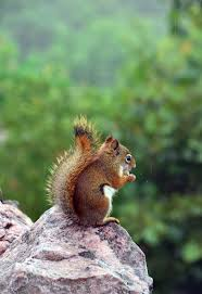 304 best squirrels ii images on pinterest squirrels animals and