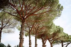 pine trees in a park in rome stock photo image 55746273