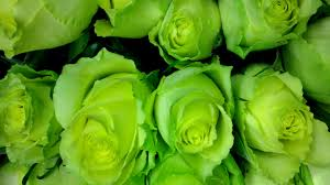 green roses green hd wallpapers pictures of beautiful flowers hd