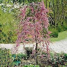 evergreen trees for small gardens small trees for small