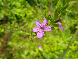 arkansas native plants world peace wetland prairie winged loosestrife a valued arkansas