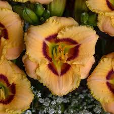 Reblooming Daylilies Premium Daylilies Walters Gardens Inc