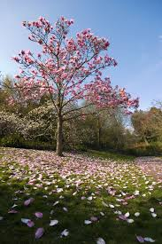 evergreen magnolia trees types of evergreen magnolia trees