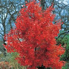 ornamental october maple trees wearefound home design
