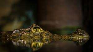 crocodile hd wallpaper wallpaperfx