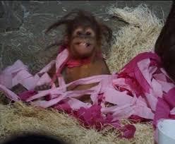 roll royce orangutan ameera farhat ameerafarhatt twitter
